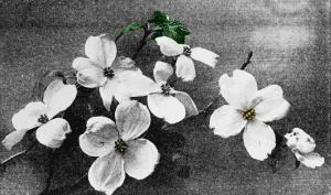 Flowering_dogwood3